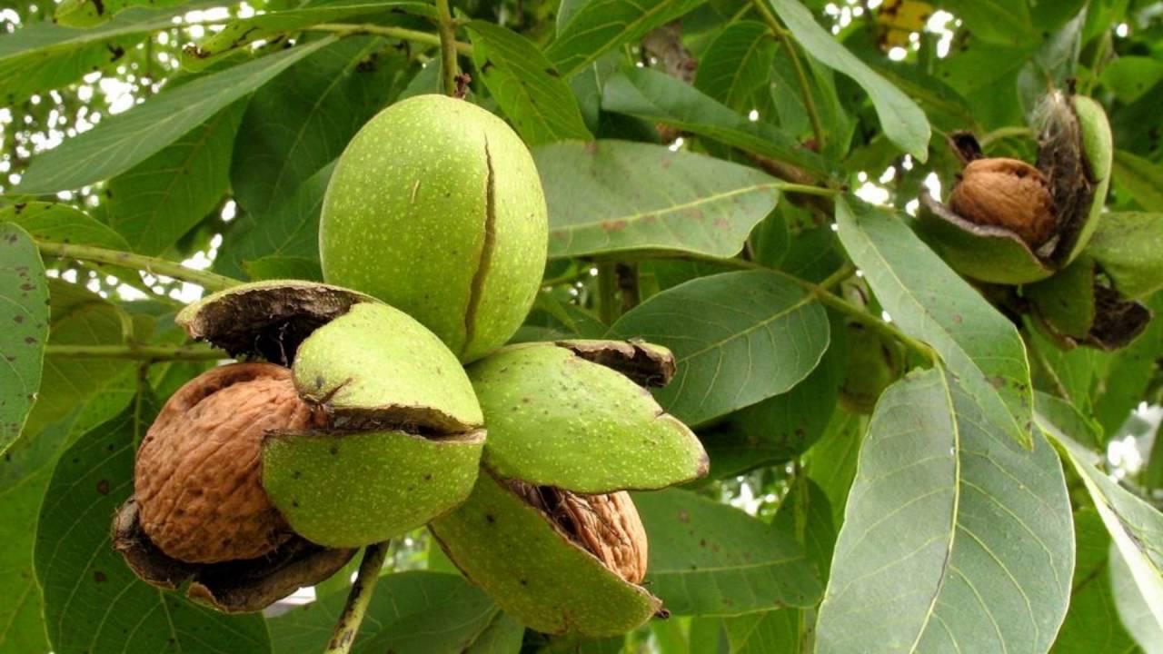Грецкий орех - walnut - qaz.wiki