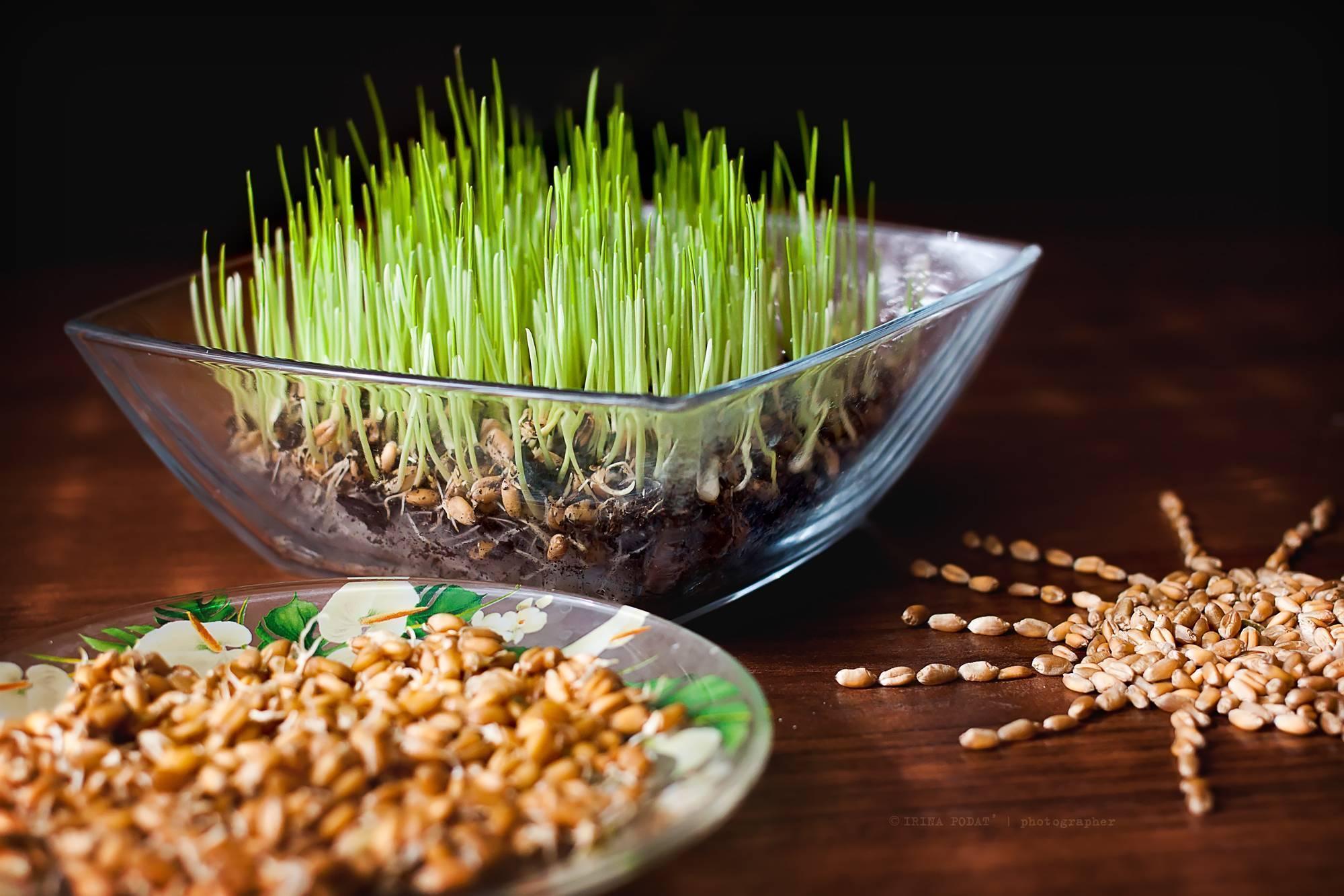 Пророщенный грецкий орех: польза и вред, как прорастить