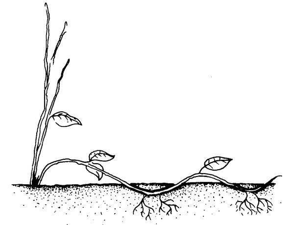 Способы размножения фундука