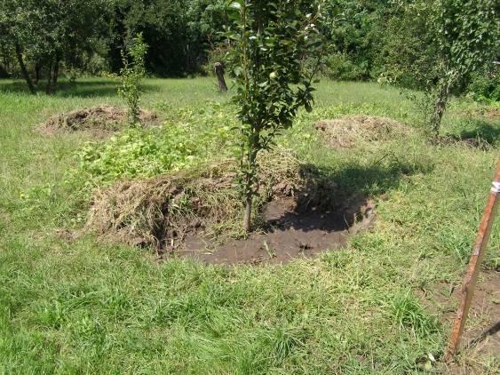 Выращивание грецкого ореха из орешка и последующий уход за деревцем