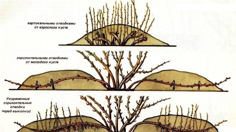 Миндаль: выращивание в саду, обрезка, прививка