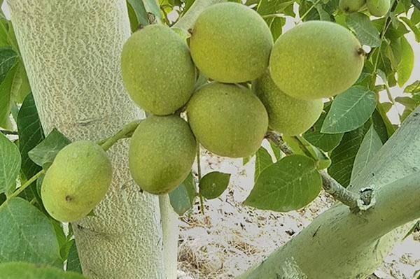 Грецкий орех. итоги исследований и перспективы выращивания