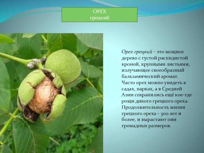 Факторы, влияющие на урожайность грецкого ореха: через сколько лет дерево начинает плодоносить?
