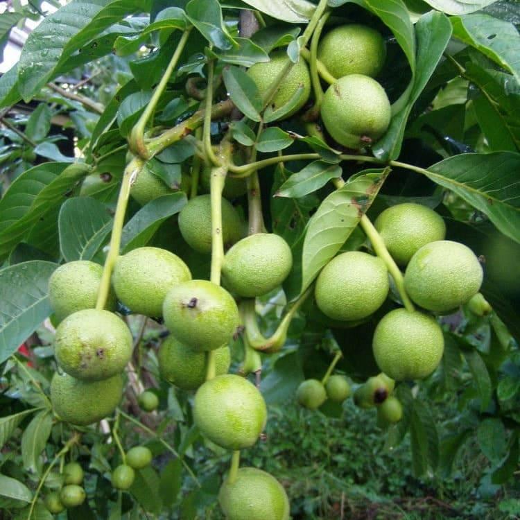 Когда собирать зелёные грецкие орехи | сайт для здорового образа жизни