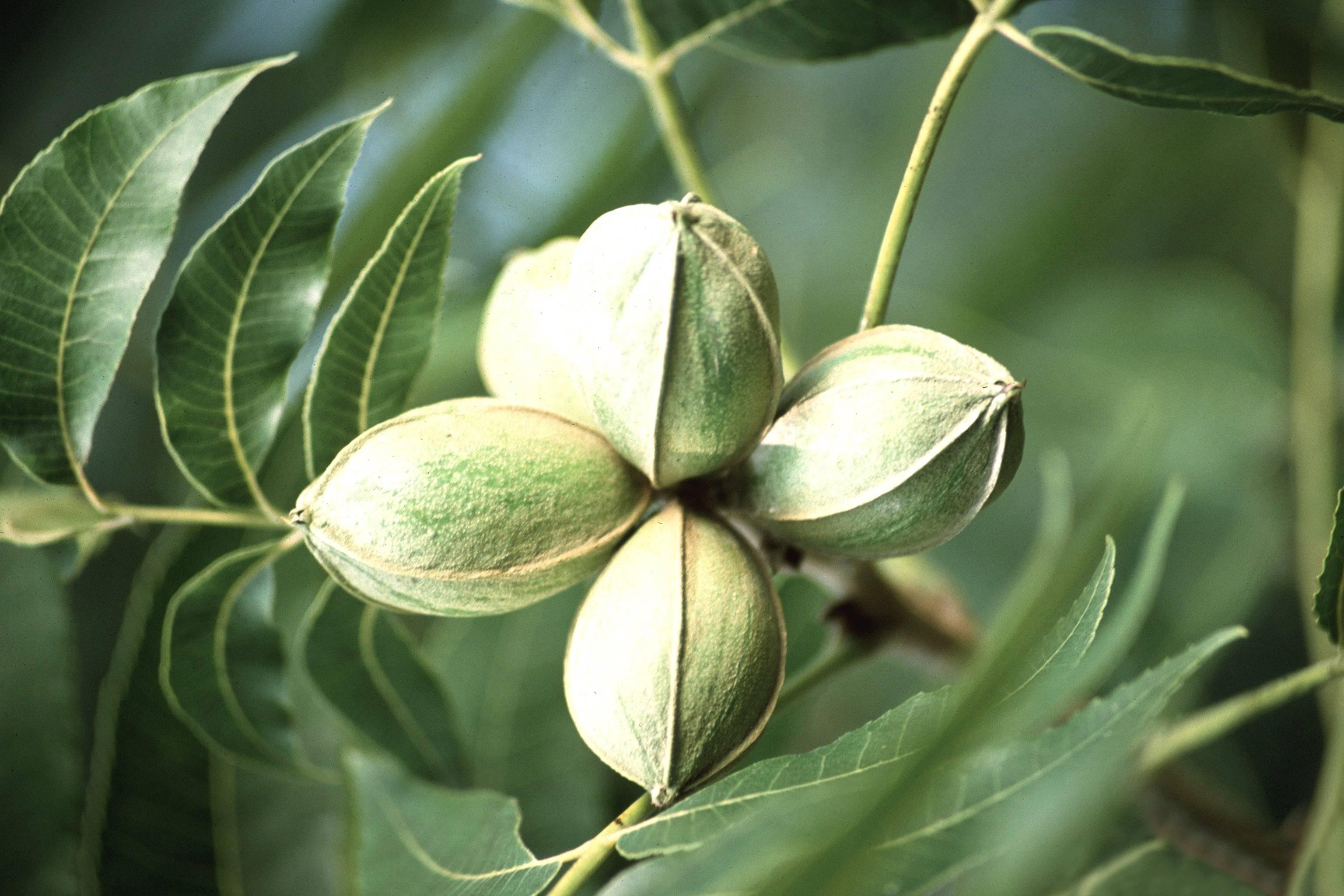Как вырастить черный (американский) орех в своем саду