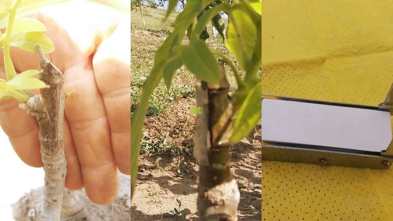 Прививка грецкого ореха 2 самых эффективных способа - мед-справка