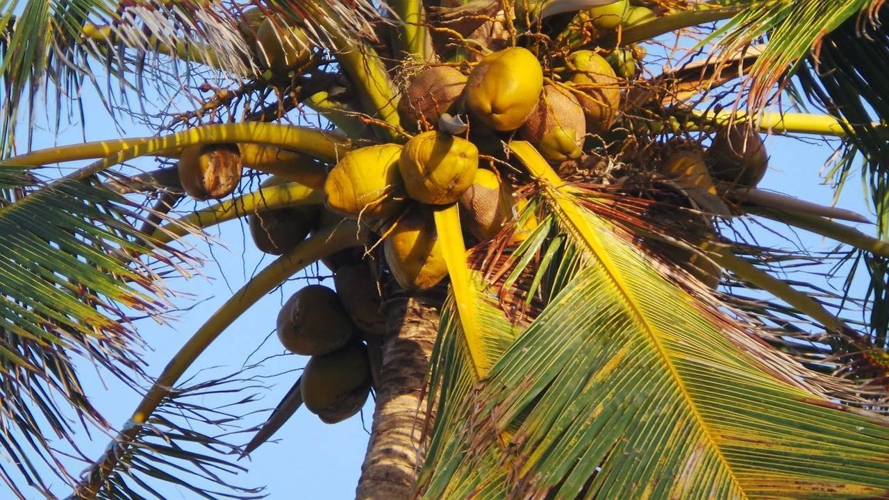 Кокосовая пальма в домашних условиях: полив, пересадка, температура
