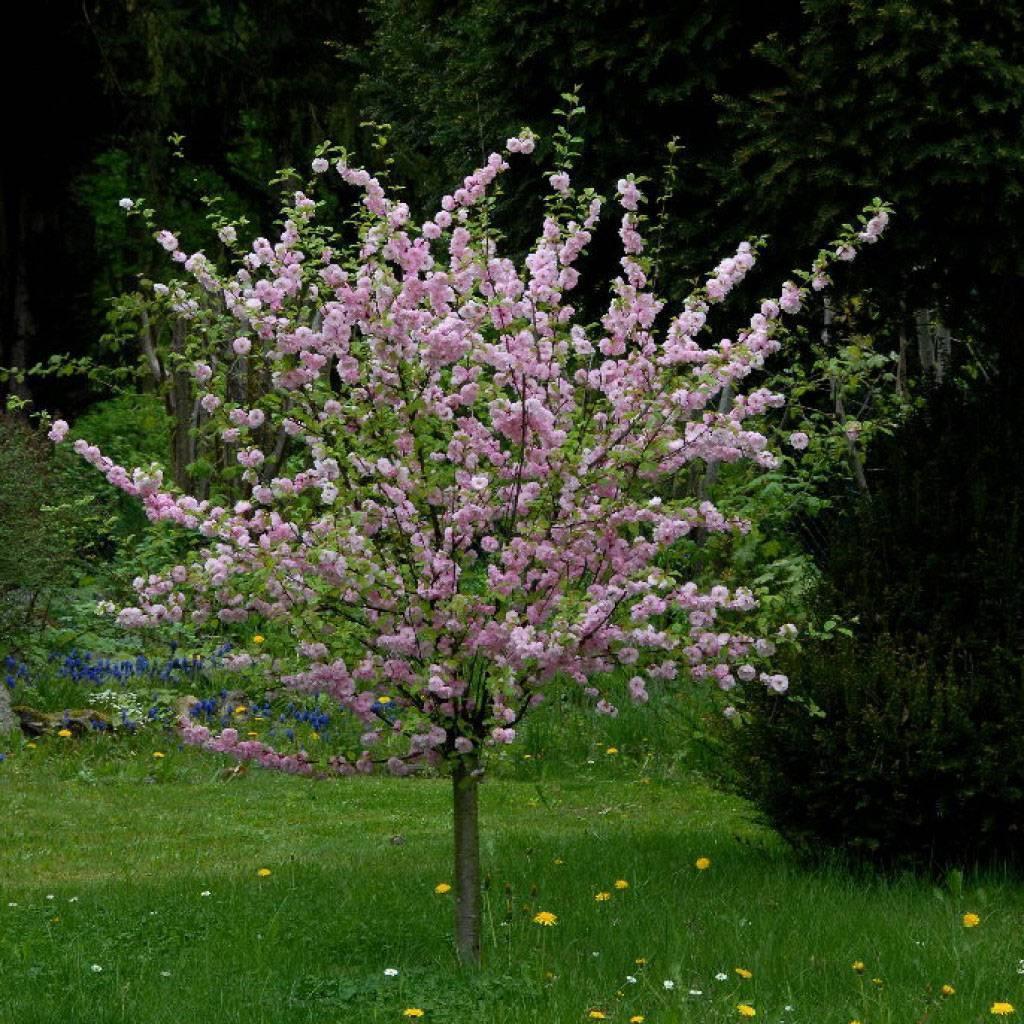 Цветущий декоративный кустарник миндаль: его особенности, признаки цветения, отличительные черты и уход