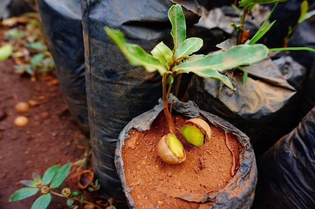 Макадамия, или австралийский орех. описание, условия выращивания, размножение. фото — ботаничка.ru
