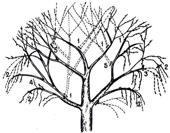 Формирование кроны грецкого ореха, первый год, метод Киктенко