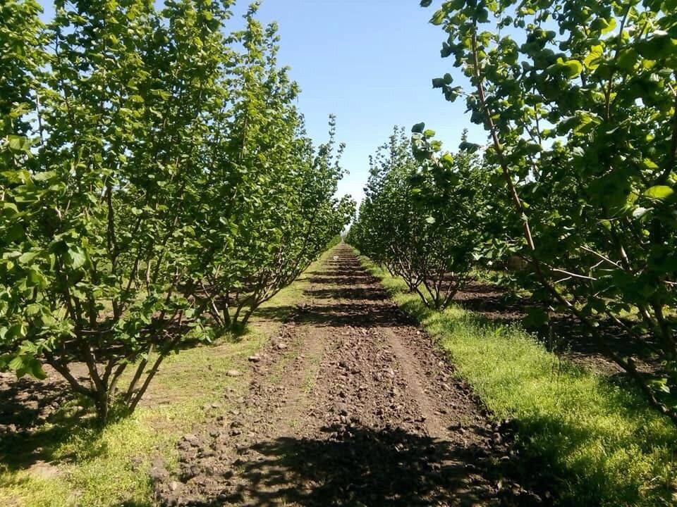 Рекомендации по закладке и посадке промышленного сада фундука — портал ореховод