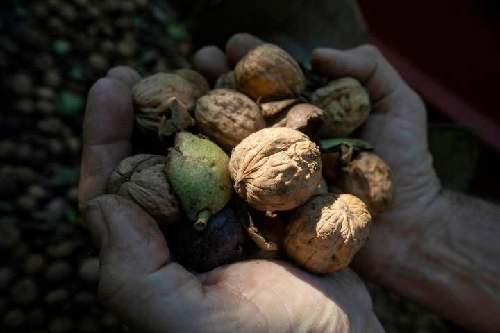 Ученые впервые расшифровали геном грецкого ореха