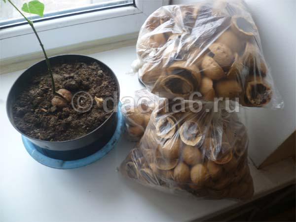 Не выбрасывайте скорлупу грецких орехов, а используйте их для здоровья