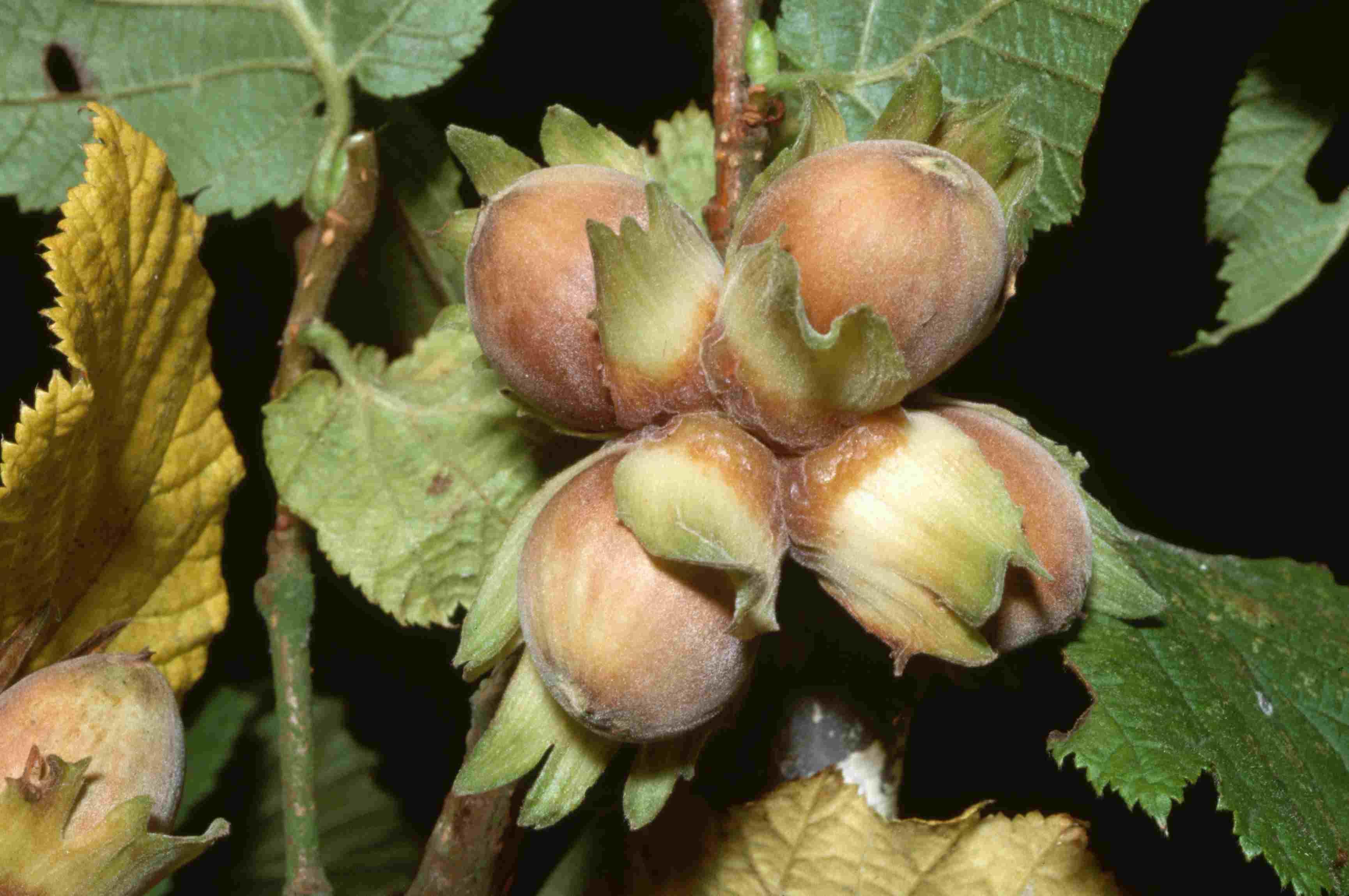 Сорта фундука: 25 лучших с описанием и характеристиками, выращивание и уход с фото