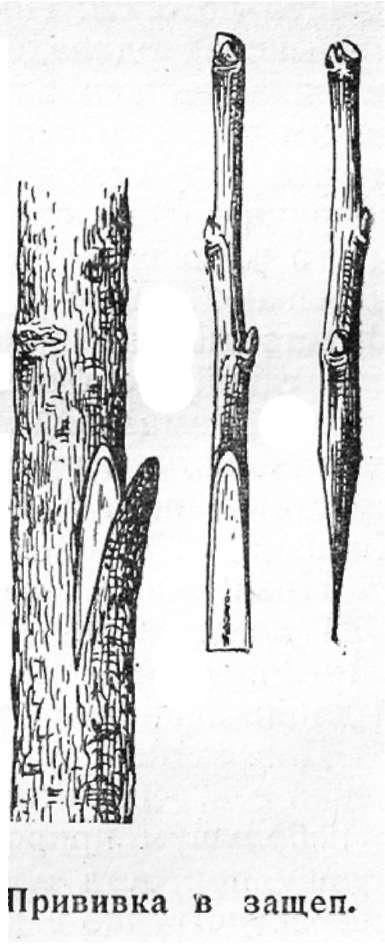 Как размножается грецкий орех в природе и в домашних условиях, какой способ выбрать, можно ли черенками, прививкой, отводками, а также уход за саженцами дерева