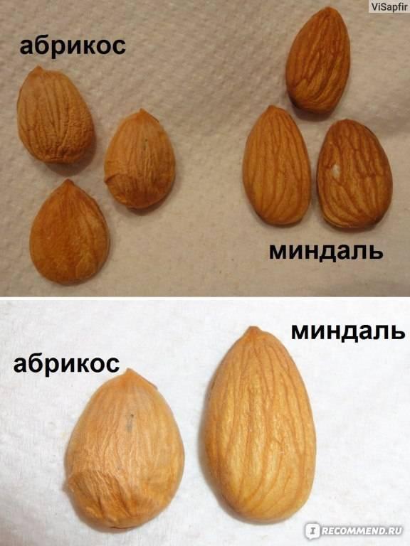 Ароматный миндаль — «редкость»: описание сладкого сорта, правила выращивания, меры борьбы с вредителями и болезнями
