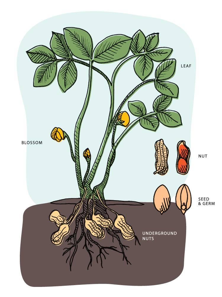 Как выращивать арахис на огороде в украине
