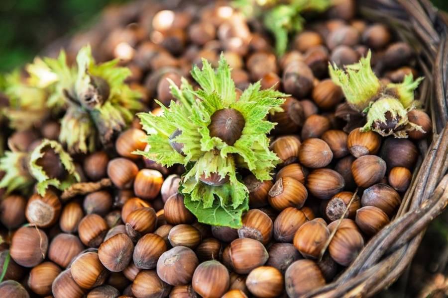 Когда созревает грецкий орех: признаки спелости