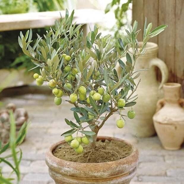 Выращивание фисташкового дерева в домашних условиях: особенности ухода, размножение и возможные проблемы