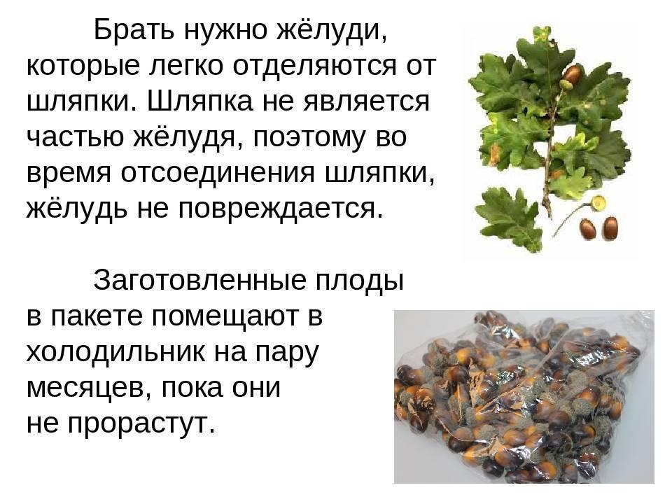 Листья дуба – польза, лечение и вред, применение продукта в кулинарии