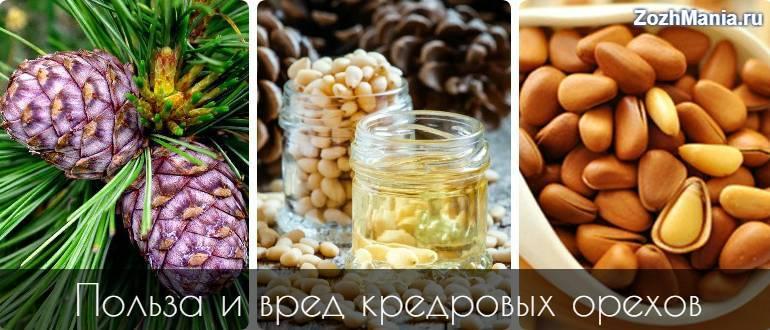 Целебные кедровые орехи, польза и вред для организма человека