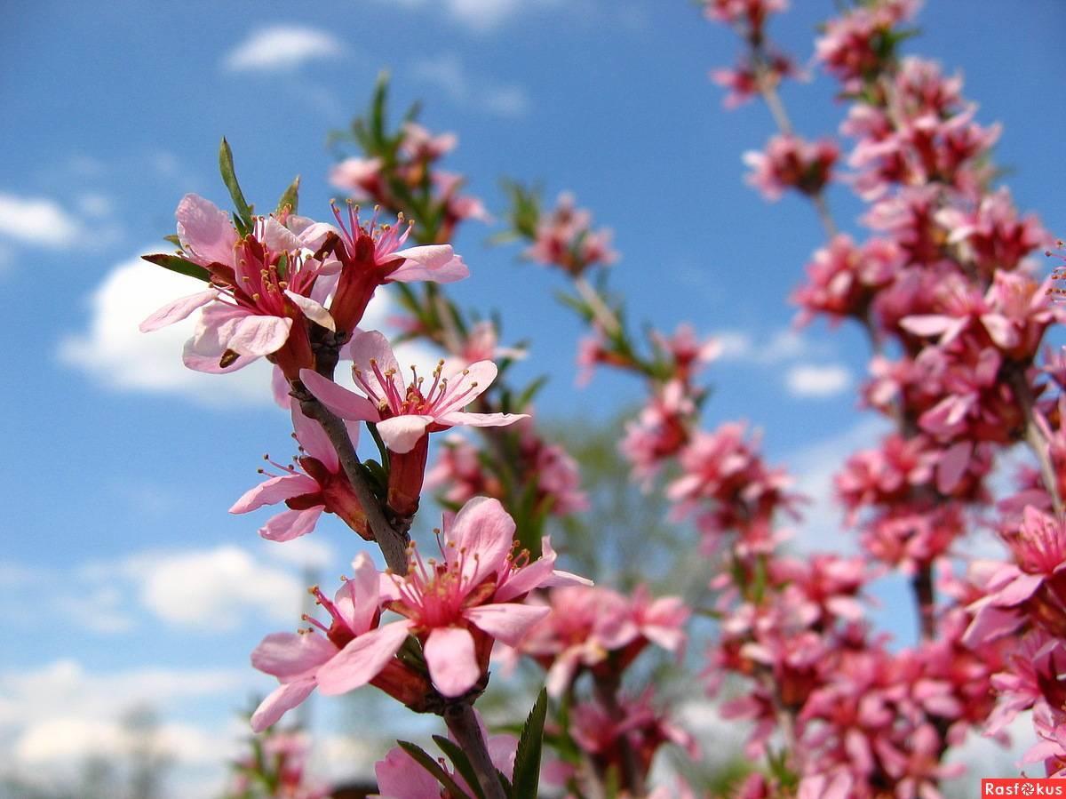 Миндаль степной: уникальное растение на вашем участке | огородники